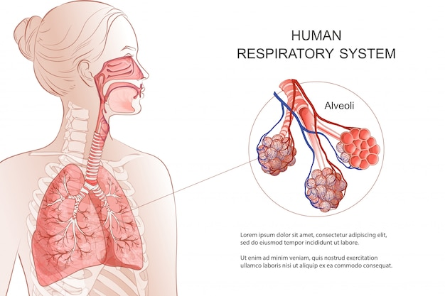 Układ oddechowy człowieka, płuca, pęcherzyki. schemat medyczny. wewnątrz krtaniowa anatomia przepustnicy nosa. oddech, zapalenie płuc, dym. ilustracja anatomii plansza opieki zdrowotnej i medycyny.