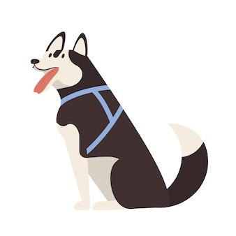 Urocza husky. siedzi słodkie urocze rasowe psie zaprzęgi lub szczeniak sobie uprząż na białym tle. śmieszne zwierzę domowe lub zwierzę domowe. ilustracja wektorowa kolorowe w stylu cartoon płaskie.