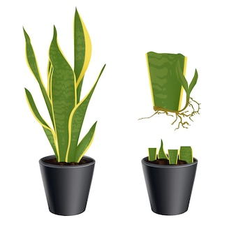 Ustaw ilustrację rozmnażanie wegetatywne rośliny sansevieria trifasciata w puli. na białym tle.