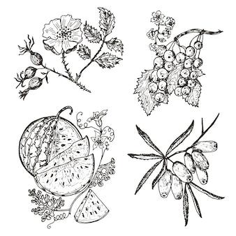 Ustaw jagody. czerwone porzeczki, rokitnik zwyczajny, dzika róża, arbuz. grawerowane ręcznie rysowane w stary szkic, styl vintage.