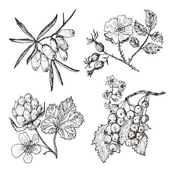 Ustaw jagody. rokitnik zwyczajny, czerwone porzeczki, malina moroszka, dzika róża.
