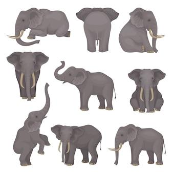 Ustaw słonie w różnych pozach. afrykański ssak azjatycki z dużymi uszami i długimi pniami.