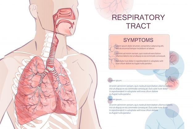 Vector human respiratory system
