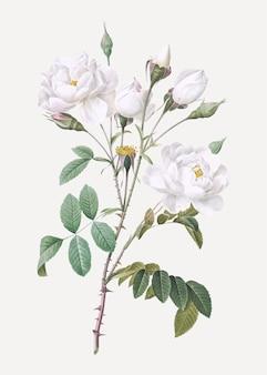 Vintage biała róża plakat