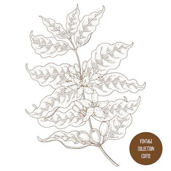 Vintage botanika wektor ręcznie rysowane ilustracja na białym tle. styl szkicu