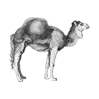 Vintage ilustracje arabskiego wielbłąda