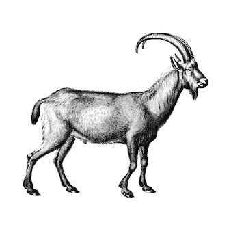 Vintage ilustracje dzikiej kozy