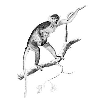 Vintage ilustracje guenon grivet