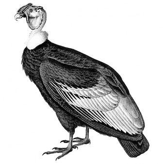 Vintage ilustracje kondora andyjskiego