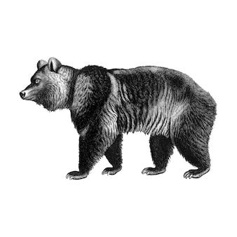 Vintage ilustracje niedźwiedzia brunatnego