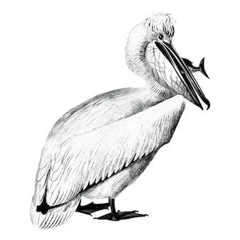 Vintage ilustracje pelikana