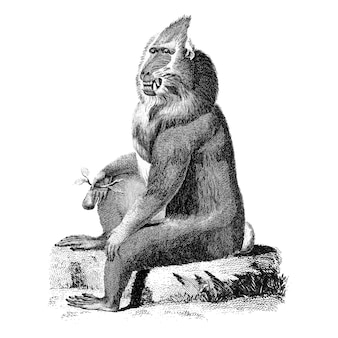 Vintage ilustracje pstry pawian