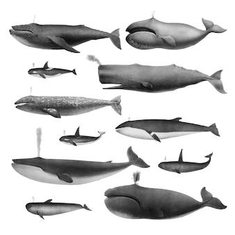 Vintage ilustracje wielorybów
