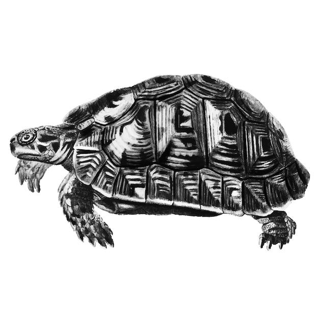 Vintage ilustracje żółwia