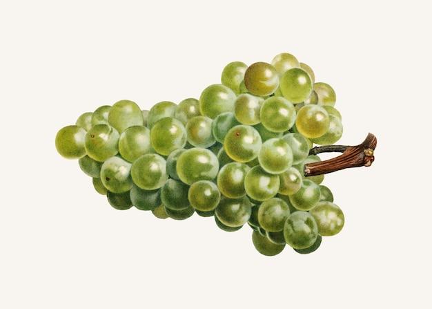 Vintage kiść zielonych winogron ilustracji wektorowych