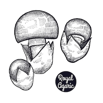 Vintage ryciny grzyb royal agaric.