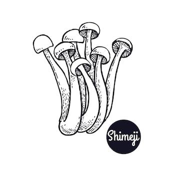 Vintage ryciny grzyb shimeji.