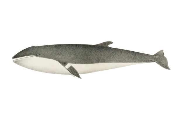 Vintage Wieloryb Ilustracja Darmowych Wektorów