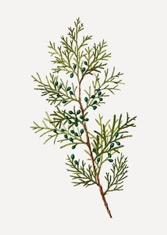 Virginian bush jałowca