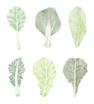 Warzywo liści kapusty kreskówka na białym tle w stylu przypominającym akwarele.