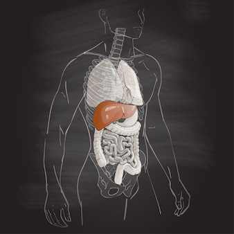 Wątroba anatomii człowieka