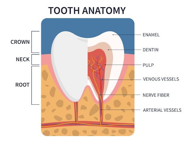 Wektor ilustracja anatomia przekroju zęba dla edukacji medycznej i opieki stomatologicznej