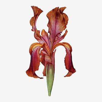 Wektor ilustracja kwiat rocznika tęczówki