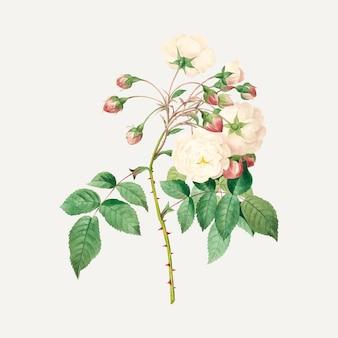 Wektor kwiatu róży adelajdy, zremiksowany z dzieł autorstwa pierre-josepha redouté