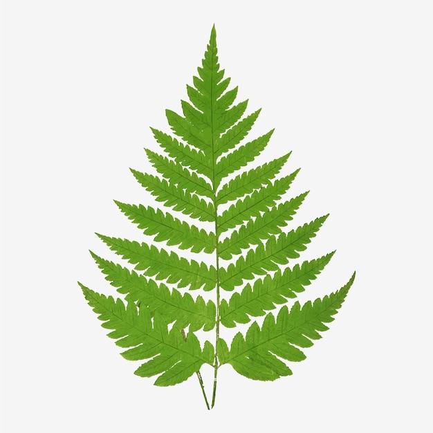 Wektor liści paproci acrostichum alienum