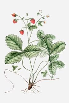 Wektor roślin dzikich truskawek