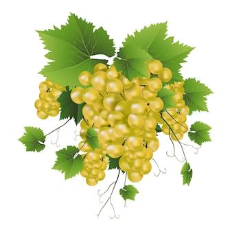 Wektor świeżych białych winogron winorośli.