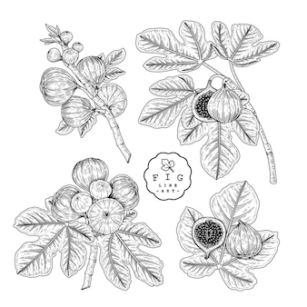 Wektor szkic owoce figowe zestaw dekoracyjny.