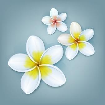 Wektor tropikalna roślina plumeria lub frangipani kwiaty na białym tle na niebieskim tle