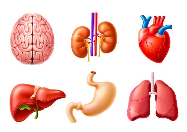 Wektor zestaw anatomii ludzkiego ciała narządy wewnętrzne realistyczne modele wątroba mózg nerki serce płuca
