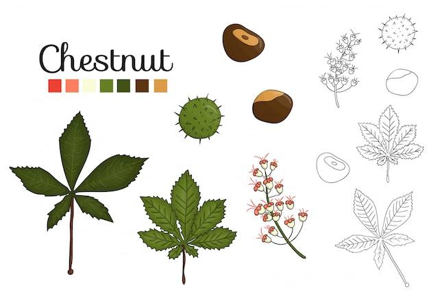 Wektor zestaw elementów drzewa kasztanowca na białym tle. ilustracja botaniczna liści kasztanowca, brunch, kwiaty, orzechy. czarno-białe obiekty clipart.