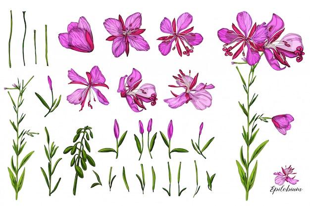 Wektor zestaw kolorów z kwiatów i pąków epilobium