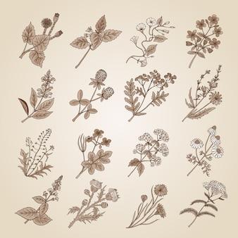 Wektorowa ilustracja w rocznika stylu. kolekcja ręcznie rysowane leczniczych, botanicznych i leczniczych ziół piękna z ogrodu. tonacja sepii