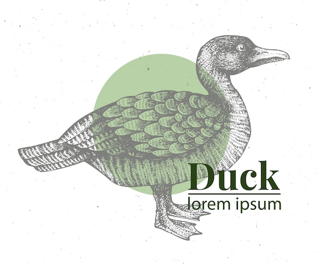 Wektorowa ręka rysująca kaczki ilustracja.