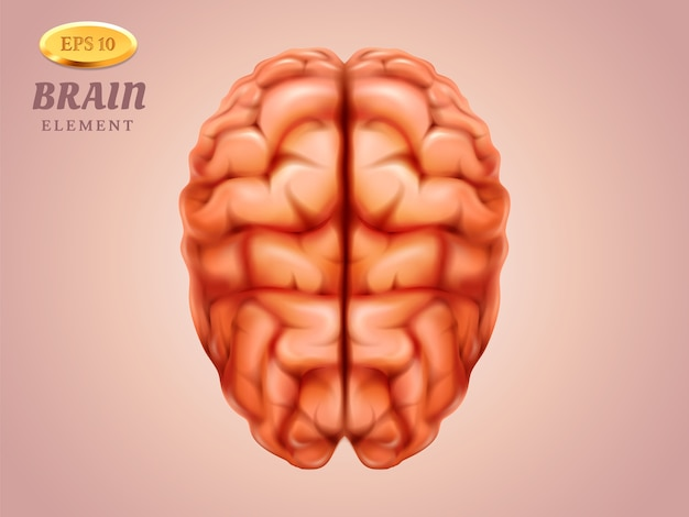 Widok z góry na mózg. organ ludzkiego umysłu z myślą i wiedzą