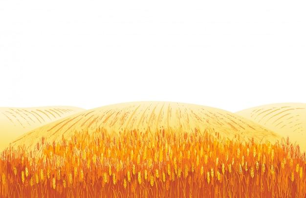 Wiejski krajobraz lato pole dojrzałej pszenicy na wzgórzach