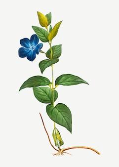 Większy kwiat barwinka