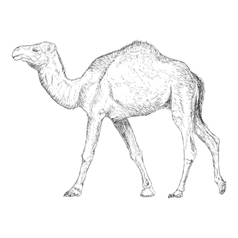 Wielbłąd ilustracja, ręka rysujący projekt.