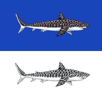 Wielki tygrys rekin morski drapieżnik requiem zwierzę życie morskie ręcznie rysowane vintage grawerowane szkic ocean