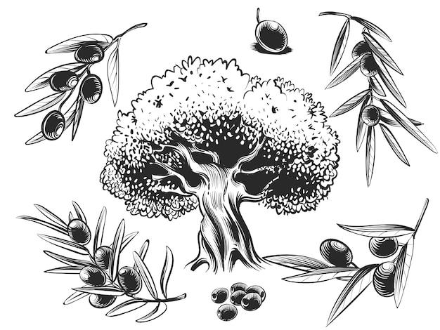 Wielkie drzewo oliwne i gałązki oliwne ręcznie zarysowane zestaw