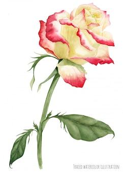 Wielobarwna kremowa czerwona róża
