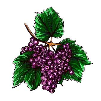 Winogrona na białym tleilustracja