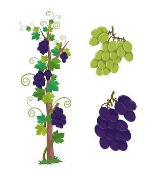 Winogrona winogrona