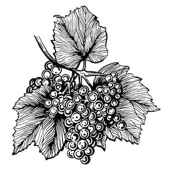 Winogrona winorośl ręcznie rysowane ilustracja