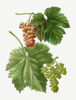 Winorośl winogron