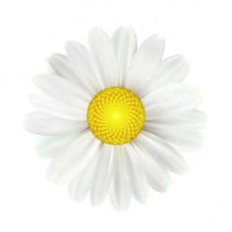 Wiosenne kwiaty stokrotka na białym tle